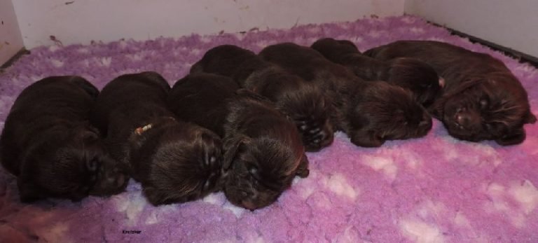 photo field spaniel chiot