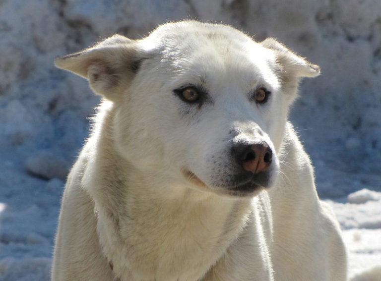photo labrador blanc