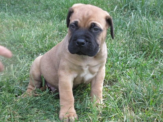 photo bullmastiff chiot
