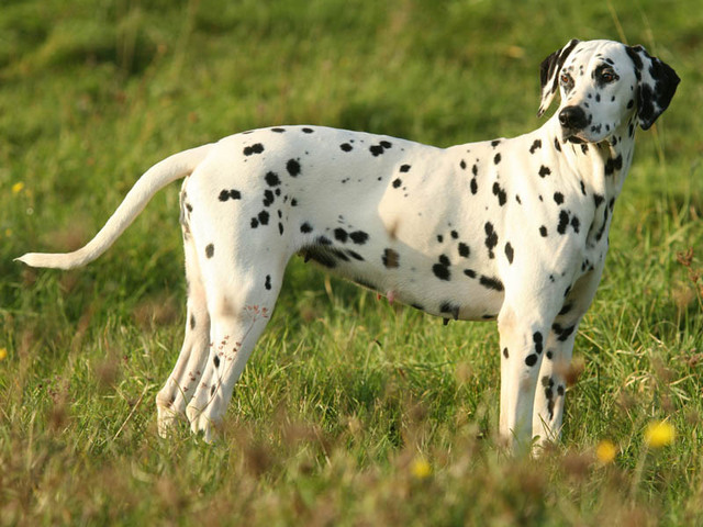 photo dalmatien chiot
