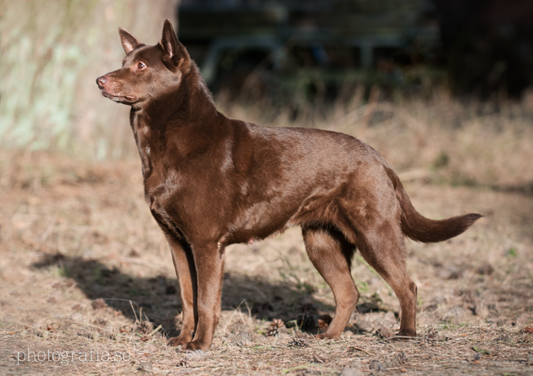photo kelpie australien