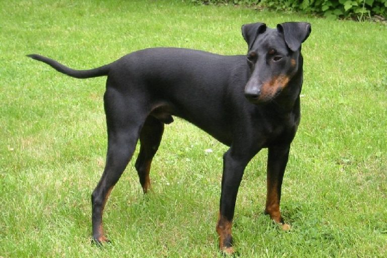 photo manchester terrier chiot