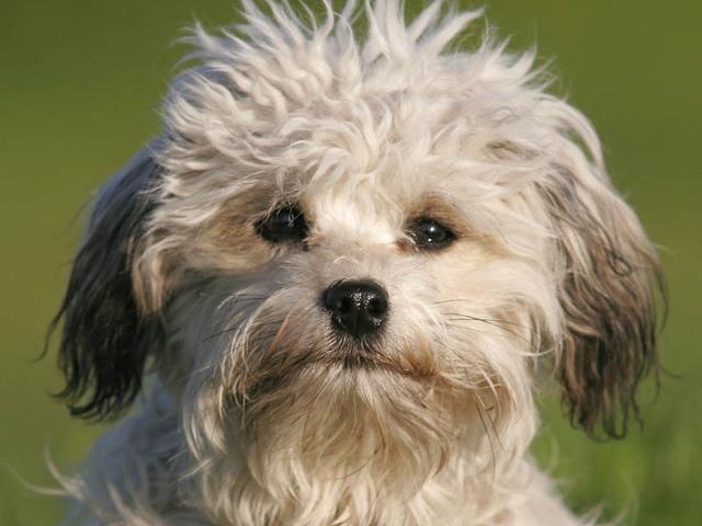 photo petit chien lion chiot