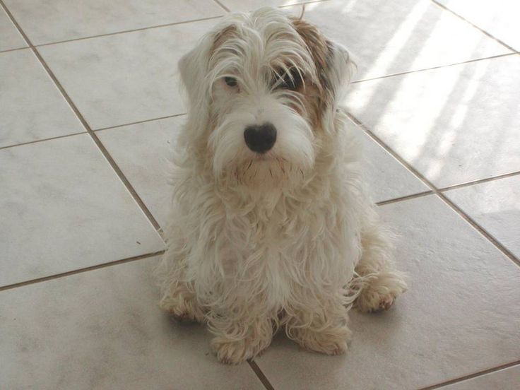 photo sealyham terrier