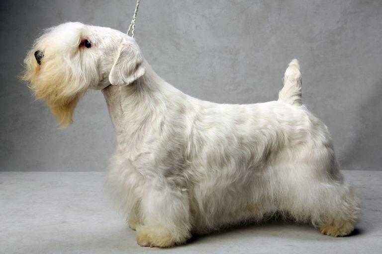 photo sealyham terrier