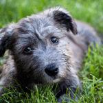 Terrier irlandais Glen of Imaal