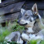 Vallhund suédois-Spitz des Wisigoths