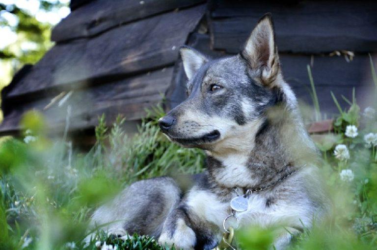 photo vallhund suédois-spitz des wisigoths