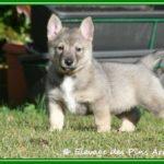 Vallhund suédois-Spitz des Wisigoths chiot