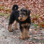 Airedale terrier chiot