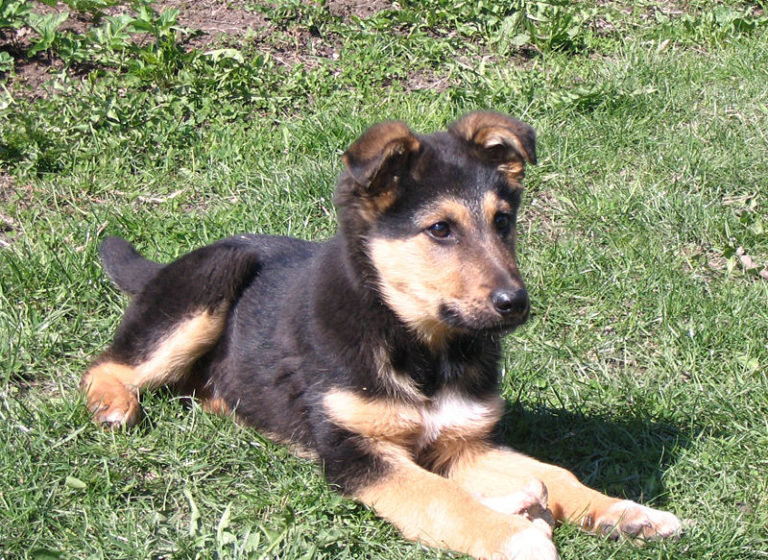 photo berger allemand chiot