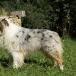 Cairn terrier blanc