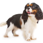 Cavalier King Charles spaniel chiot