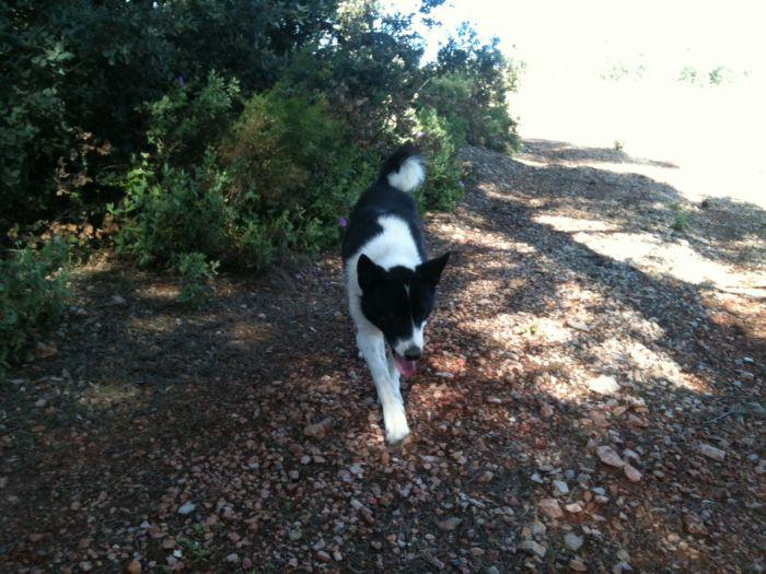 photo chien courant de la vallée de la save