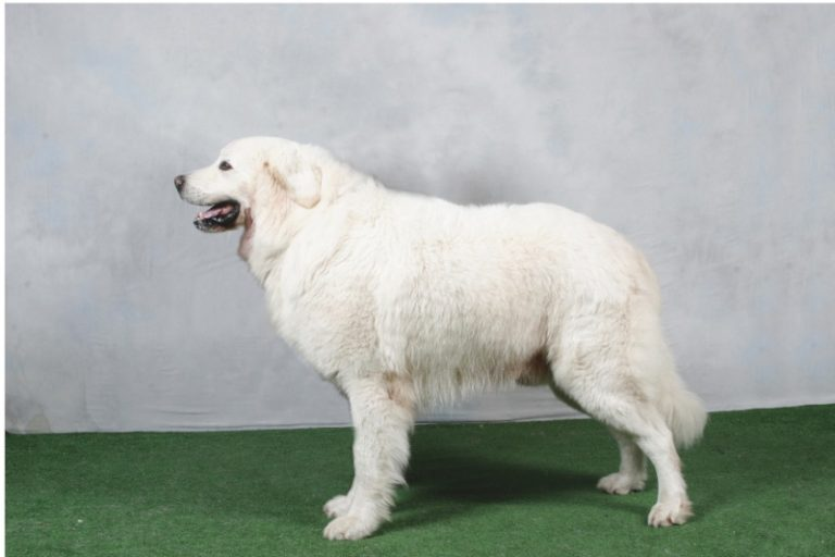 photo chien de berger des tatras
