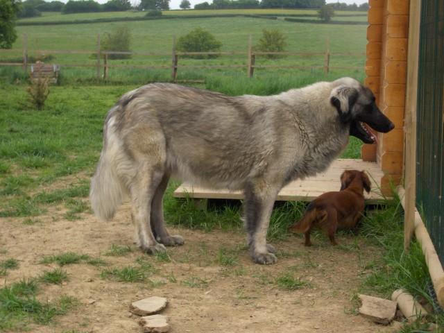 photo chien de la serra da estrela chiot