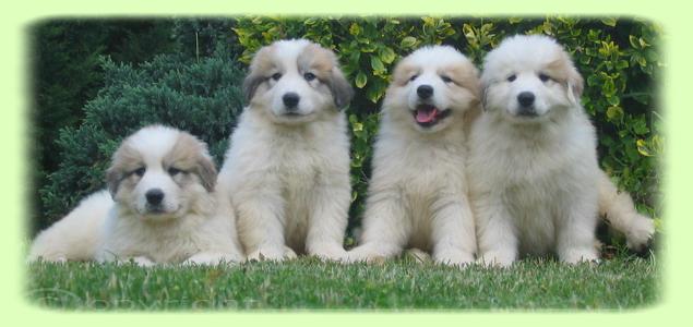 photo chien de montagne des pyrénées chiot