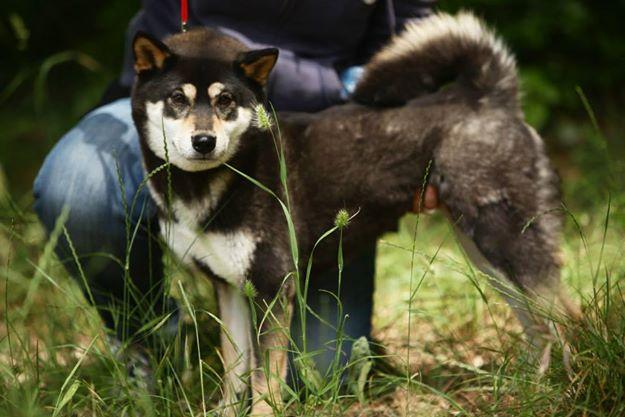 photo chien d'élan norvégien noir chiot