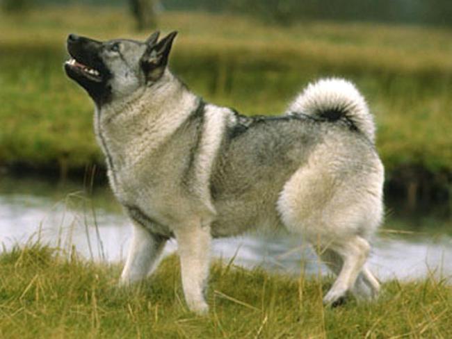 photo chien d'élan suédois chiot