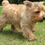 Norfolk terrier chiot