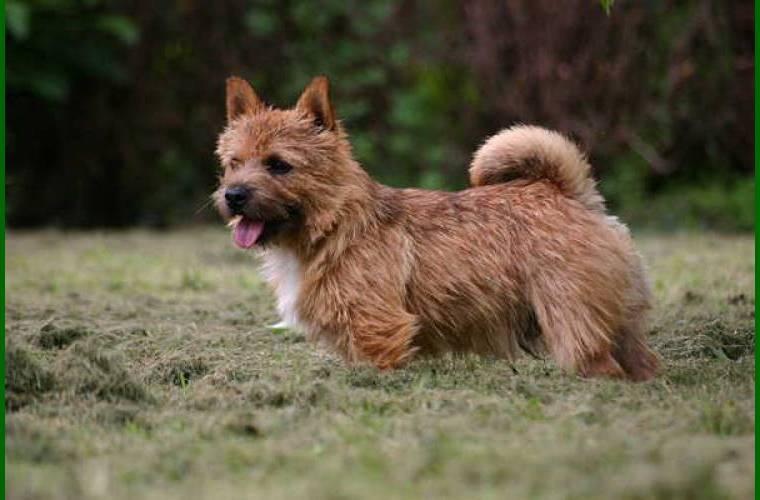 norwich terrier chiot #2