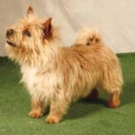 Norwich terrier chiot