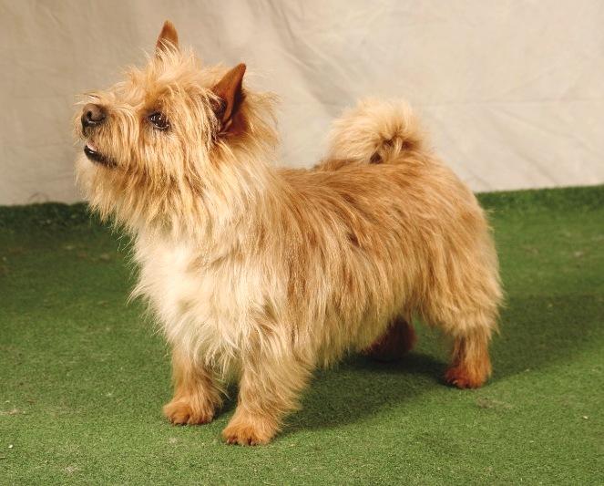 photo norwich terrier