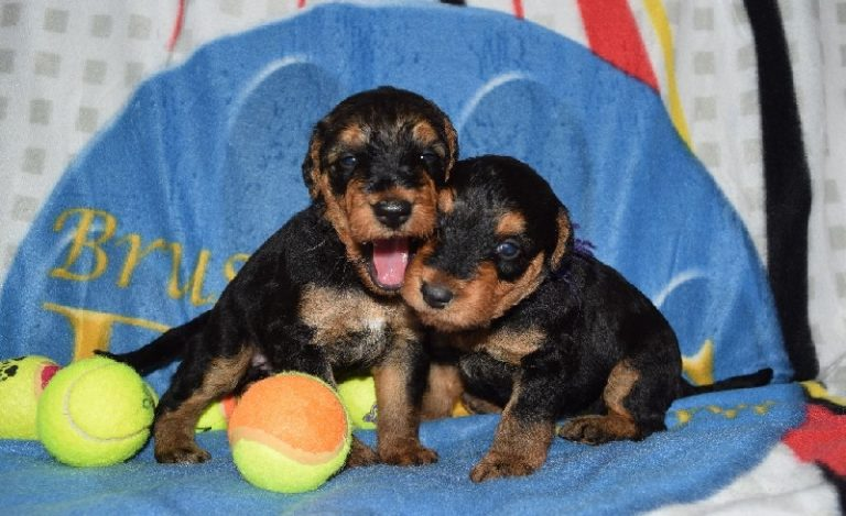 photo airedale terrier chiot