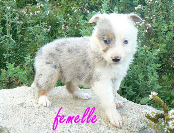photo border collie bleu