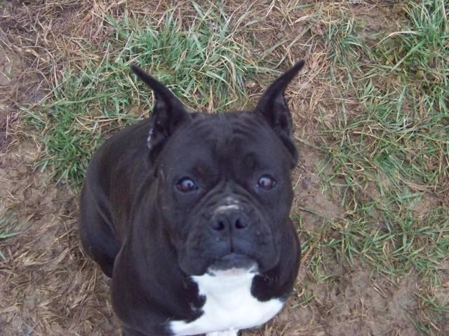 photo chien boxer noir