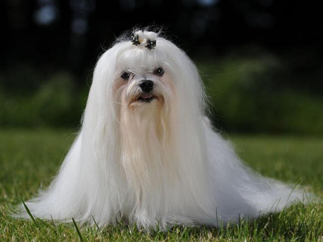 photo chien courant de hygen chiot