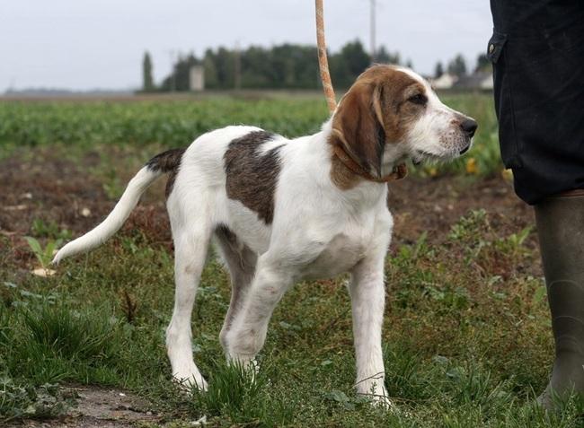 photo chien courant du småland chiot