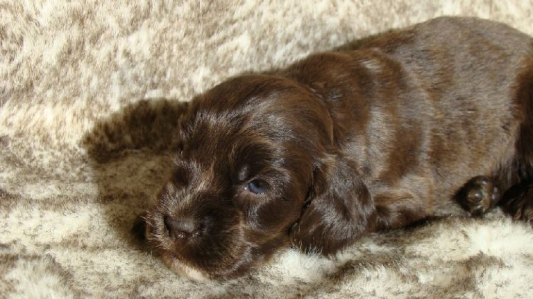 photo cocker spaniel anglais chocolat