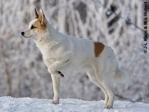 photo spitz de norrbotten chiot