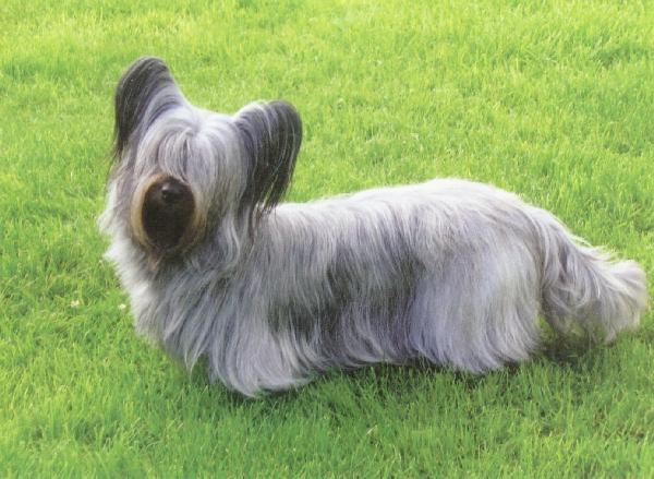 photo skye terrier