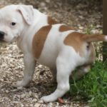 Staffordshire bull terrier fauve