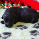 Terrier noir russe chiot