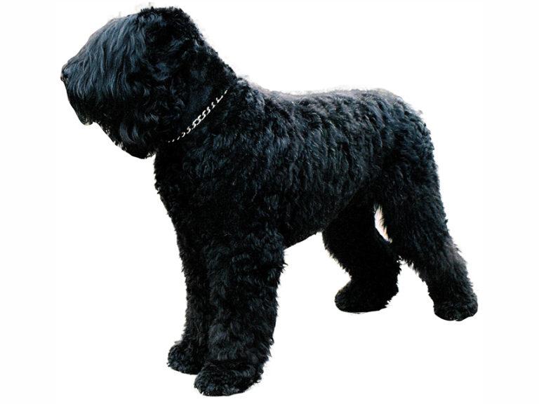 photo terrier noir russe chiot