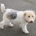 Terrier tchèque chiot