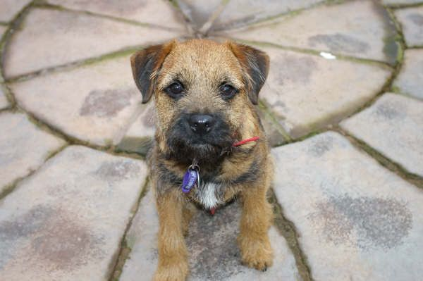photo border terrier chiot