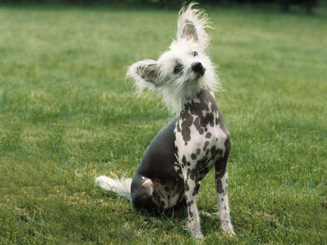 photo chien chinois à crête chiot