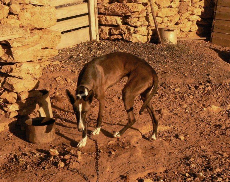 photo chien de garenne des canaries