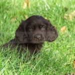 Chien d'oysel allemand chiot