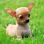 Chihuahua chiot