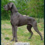 Dogue allemand bleu