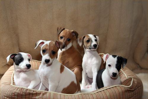 photo greyhound chiot
