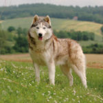 Husky de Sibérie chiot