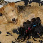 Lakeland terrier chiot