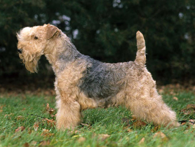 photo lakeland terrier chiot