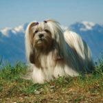 Lhasa Apso chiot